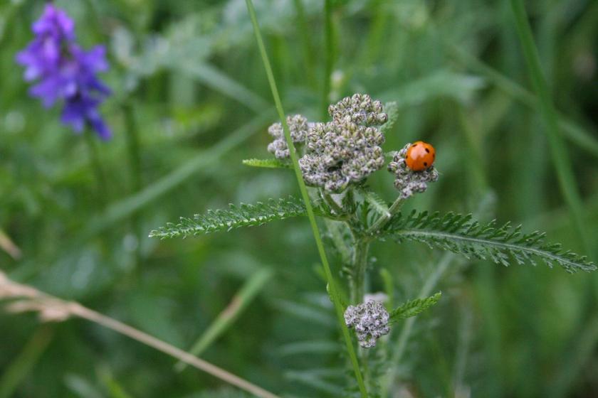 2016-07-02 ladybug ok
